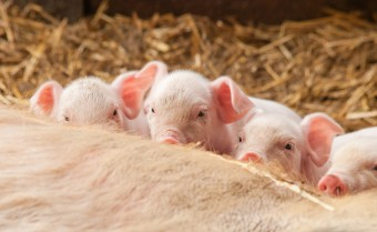 Four 3 day old Gloucester Old Spot piglets feeding from their mother